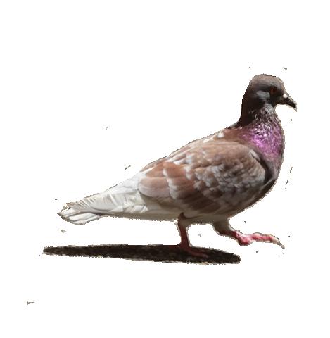 piccione trasp.png